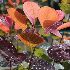 Cotinus coggygria 'Royal Purple' - Smoke tree