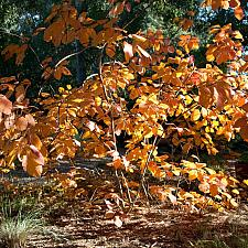 Cotinus 'Grace' - Smoke tree