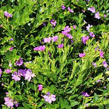 Cuphea hyssopifolia 'Itsy Lilac' - Itsy Bitsy lilac false heather
