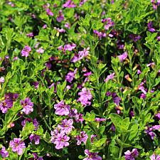 Cuphea hyssopifolia 'Itsy Rose' - Itsy Bitsy rose false heather