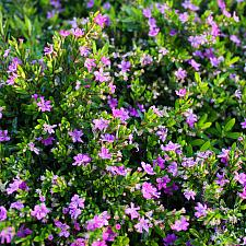 Cuphea hyssopifolia 'Red Compact' - Compact false heather