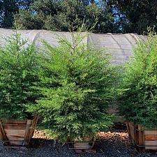 Cupressus sargentii - Sargent cypress