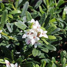 Daphne x transatlantica 'Eternal Fragrance' - Eternal Fragrance daphne