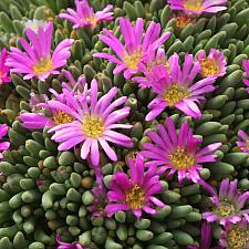 Delosperma sphalmanthoides - Tufted ice plant