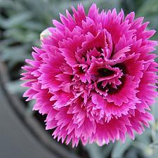 Dianthus 'Starlette' - Pink