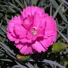 Dianthus Scent First® 'Tickled Pink' - Scent First Dianthus
