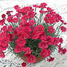 Dianthus 'Eastern Star' - Pink