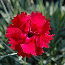 Dianthus 'Fire Star' - Pink
