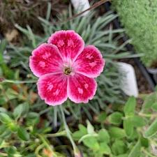 Dianthus gratianapolitanus 'Spotty' - Cheddar pink