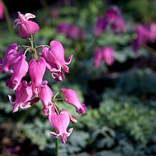 Dicentra 'King of Hearts' - Bleeding heart