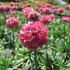 Armeria pseud. 'Dreameria™ Dreamland' - Thrift, Sea pink