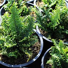Dryopteris affinis 'Crispa Gracilis' - Dwarf Crisped Golden-scaled Male fern