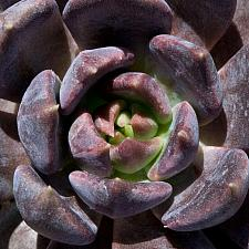 Echeveria 'Black Knight' - Hen and Chicks