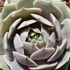 Echeveria 'Lola' - Echeveria