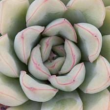 Echeveria pulidonis - Echeveria