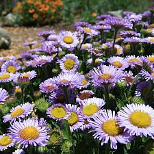 Erigeron glaucus 'Cape Sebastian' - Seaside daisy