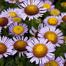 Erigeron glaucus 'Bountiful' - Seaside daisy