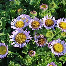 Erigeron glaucus 'Wayne Roderick' - Seaside daisy