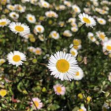 Erigeron karvinskianus - Santa Barbara daisy