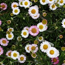 Erigeron karvinskianus 'Spindrift' - Compact Santa Barbara daisy