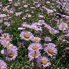 Erigeron 'W.R.' - Seaside daisy