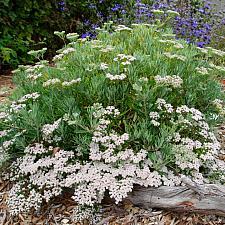 Eriogonum arborescens - Santa Cruz Island buckwheat
