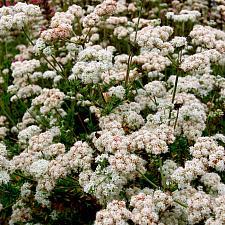 Eriogonum fasciculatum - Common buckwheat