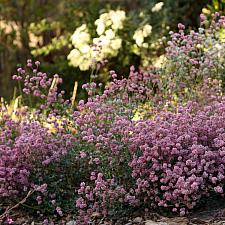 Eriogonum parvifolium - Buckwheat