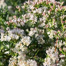 Eriogonum fasciculatum 'Warriner Lytle' - Buckwheat