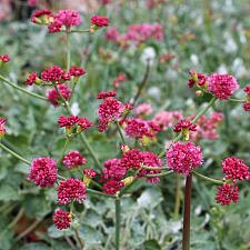 Eriogonum grande var. rubescens - Red buckwheat