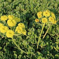 Eriogonum umbellatum var. aureum 'Kannah Creek' - Buckwheat