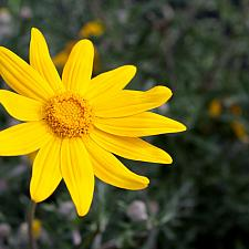 Eriophyllum lanatum 'Siskiyou' - Oregon sunshine