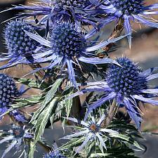 Eryngium 'Sapphire Blue' - Sea holly