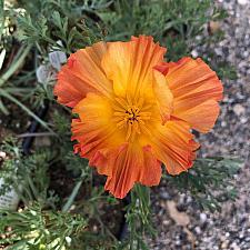 Eschscholzia californica 'Apricot Chiffon' - California poppy