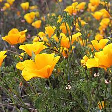 Eschscholzia californica var. maritima - California poppy