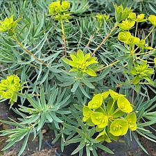 Euphorbia 'Copton Ash' - Copton Ash spurge