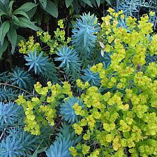 Euphorbia 'Blue Haze' - Blue Haze spurge