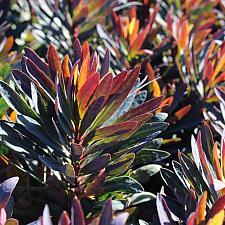 Euphorbia 'Blackbird' - Spurge