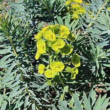 Euphorbia 'Limewall' - Spurge
