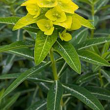 Euphorbia sikkimensis - Spurge