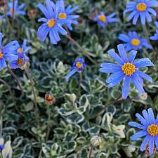 Felicia amelloides 'Variegata' - Blue variegated marguerite