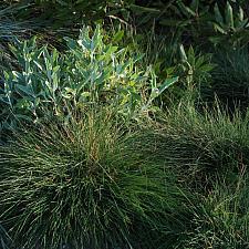 Festuca idahoensis 'Tomales Bay' - Tomales Bay Idaho fescue
