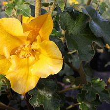 Fremontodendron 'California Glory' - Flannel bush