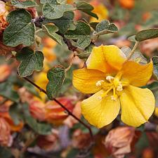 Fremontodendron 'Ken Taylor' - Flannel bush