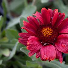 Gaillardia aristata 'Gallo Red' - Blanket flower
