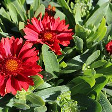Gaillardia x grandiflora 'Celebration' - Blanket flower