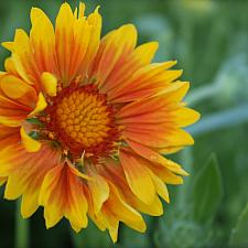 Gaillardia x grandiflora 'Oranges and Lemons' - Blanket flower