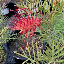 Grevillea 'Spirit of ANZAC' - Grevillea