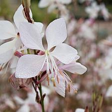 Gaura lindheimeri 'Snow Fountain' - Snow Fountain gaura