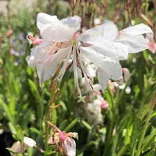 Gaura lindheimeri 'White Dove' - Gaura